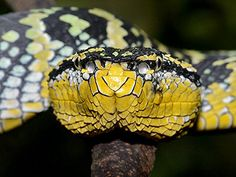 Waglers Pit Viper (Tropidolaemus wagleri) is a venomous pitviper species native to southeast Asia.