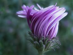 Aster in bloom Beautiful Flowers Pictures, Flower Pictures, Amazing Flowers, Pretty Flowers, Purple Flowers, Art Flowers, Beautiful Things, Purple Love, All Things Purple