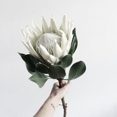 White Protea #blooms #flowers
