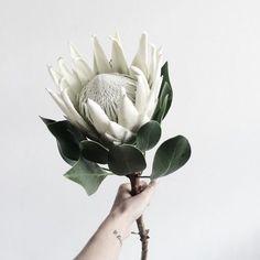 // White protea