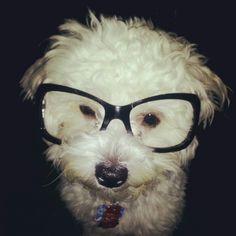 He's my fluffy nerd #cute #puppy - shih poo