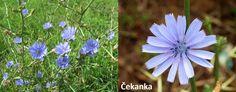 cekanka-ucinky-na-zdravi-co-leci-pouziti-uzivani Herbs, Plants, Herb, Plant, Planting, Planets