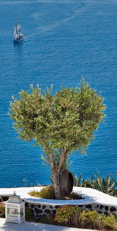Olive Tree in Greece