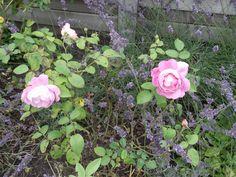 Wat geurden de rozen lekker met de lavendel ertussen. 2014