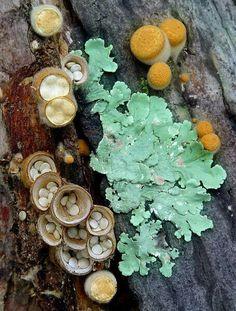 Common Bird's Nest (Crucibulum laeve, syn. C. vulgare) and lichen