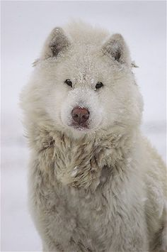 Canadian Eskimo Dog, Inuit Sled Dog, Alaskan or Mackenzie River Husky Big Dogs, Cute Dogs, Dogs And Puppies, Doggies, Canadian Eskimo, Canadian Dog, National Geographic, Animals Beautiful, Cute Animals