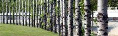 Line of poplars.