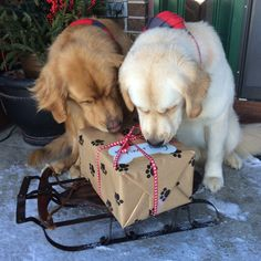 A Christmas present for us! A Golden Retriever and a Yellow Lab check out Santa's sleigh. - via Finn Jacobson