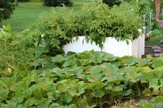 experimented growing tomatoes in an African keyhole garden == abundance of ripening tomatoes