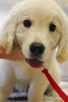 Lovely Lucy   -one of our Guide Dogs puppies.