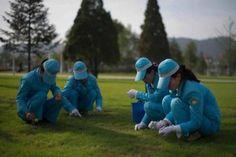 Insolite, les photos : Des femmes nettoient à la pince à épiler, une pelouse du Palais Kumusan, le 25 juillet 2013 à Pyongyang- palais du soleil - corée du nord