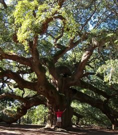 This is the Angel oak in Charleston South Carolina