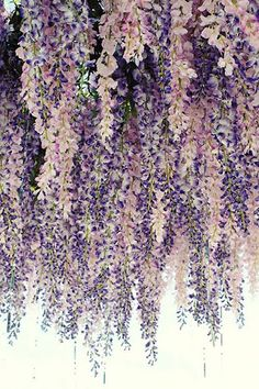 Lilac display