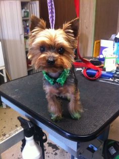haircuts for yorkie poos | yorkie+haircuts | Thread: Cocker cut St. Pattys style