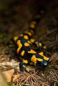 """""""The bright markings of the fire salamander are thought to deter predators."""" C&E European Wildlife; www.bradtguides.com"""