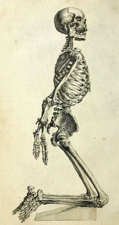 Paraphilia Magazine    Skeleton of an Adult Male  Posed to most effectively convey limb relation to torso anatomy.  The Anatomy of the Humane Body: Edition VI. William Cheselden, 1741