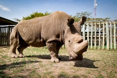 This older gentleman is a celebrity figure for his species, but for an unfortunate reason. His name is Sudan, and he is the very last male northern white rhino in the world. He's famous for recently joining Tinder at the age of 43 in a last-ditch effort to find a mate.