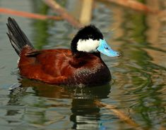Ruddy Duck #72 (out of order) First seen: Estero Llano Grande State Park, Weslaco, TX USA