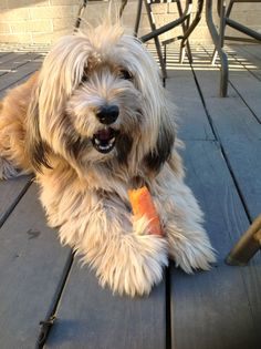 Benjy, a Tibetan terrier. Animals And Pets, Funny Animals, Tibet Terrier, Teddy Bear Dog, Emotional Support Animal, Bearded Collie, Wheaten Terrier, Lhasa Apso, Creature Comforts