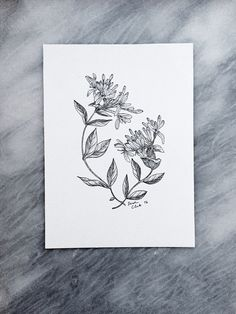 Esther Clark // botanical illustration // honeysuckle