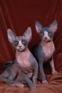 Sphinx cats appear to be hairless, but actually have a thin layer of soft hair. Up next is a cat that is named for its docile temperament. - Sante Milio / Getty Images