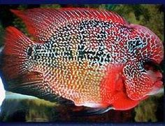 Flowerhorn cichlid. Flowerhorn Cichlid are the result of hybridization between different South American cichlids. I've had cichlid tanks before. These make me want to have them again. The head protuberance is called a nuchal hump, and is a highly desirable trait in fish in some countries.
