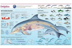 Infographic of the Anatomy, Habitat and Bottlenose Dolphin Breeding Poster