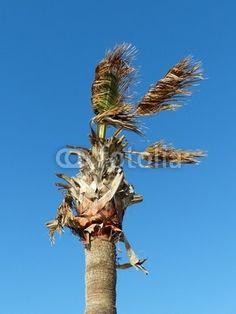 Palme vor blauem Himmel am Strand von Alacati bei Cesme in der Türkei