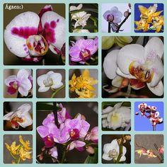 Ágnes:) virágai: Orchideák
