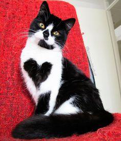 Zoe, l'adorabile gattina adottata con un grande cuore nero sul petto.
