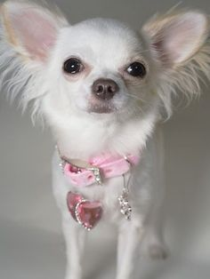 Long hair chihuahua - just so tiny and cute you have to spoil them :)