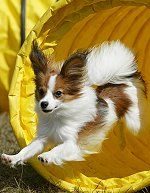 Forevr Papillons For Sale Forum - Forvr Papillons Breeder of Dogs, Puppies & Adults For Sale.