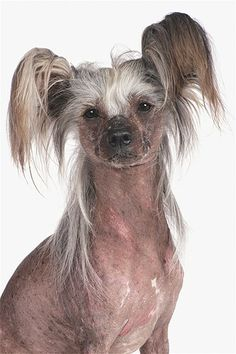 Image: Chinese Crested dog (© Tracy Morgan/Getty Images) $4,000.00 Again Really???