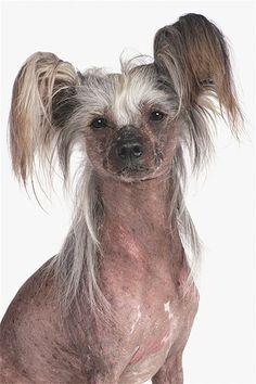 Imagem: Um cão de crista chinês (© Tracy Morgan/Getty Images)