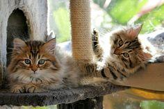 #Siberian kittens