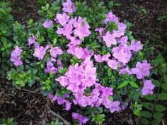 """Encore Azalea 'Autumn Lilac"""" - an evergreen azalea that blooms both spring and fall. 2"""" flowers are lilac with darker freckles."""