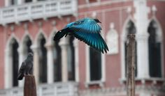 colorful pigeons amongst a flock of grey at the venice biennale
