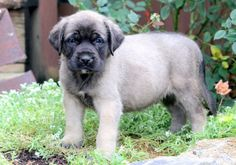 "The breed is commonly referred to as the ""Mastiff"". Also known as the English Mastiff this giant dog breed gets known for its splendid, good natu British Mastiff, English Mastiff Puppies, English Mastiffs, Mastiff Breeds, Mastiff Dogs, Giant Dog Breeds, Giant Dogs, Mastiff Puppies For Sale, Puppies Puppies"