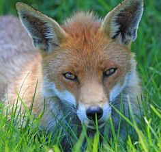 Fox, Red Fox, Red, Close-Up, Face