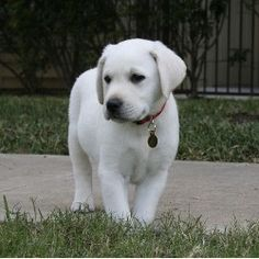 "White Labrador retriever. While there really is no such thing as a ""white Lab,"" these dogs are really bred to be a very light colored variation of the yellow Lab.  They get as white as what they call a ""Snow White"" lab.  ~Stephanie~"