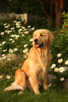 Golden Retriever...perfect portrait
