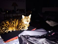 My Bengal Lucian who really wants me to stop playing with the camera and go to bed.