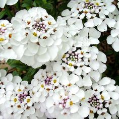 Iberis Plant - Masterpiece: Forget the usual small-flowered candytufts, these blow them out of the water! Unlike others, they bloom from spring through to autumn. Not only that, but the flowers… Love Flowers, White Flowers, Beautiful Flowers, Sutton Seeds, Plants Delivered, White Gardens, Colorful Garden, Garden Inspiration, Garden Plants