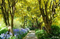 Golden Chain Trees Flowers VanDusen Garden Vancouver Canada
