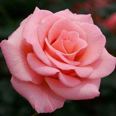 Flawless Salmon Pink Miniflora Hybrid Tea Rose