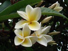 Plumeria rubra -;Celadine'.