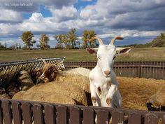 Hungary, Goats, Faces, Animals, Animales, Animaux, The Face, Animal, Animais