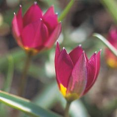 This colorful little beauty offers magenta-rose blooms that bear a bright yellow center that's revealed on warm, sunny days! http://www.bhg.com/gardening/flowers/bulbs/best-tulips-for-your-garden/?socsrc=bhgpin042015persianpearl&page=20