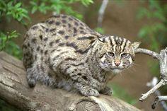 Cat asian subspecies leopard