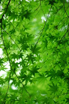 """Green*Green"" - The leaves of a Japanese Maple Tree.the leaves seem to have a perfect shape! World Of Color, Color Of Life, Go Green, Green Colors, Lush Green, Nature Verte, Palmiers, Japanese Maple, Jolie Photo"